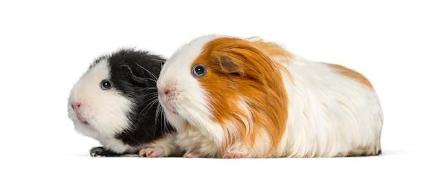 Zwei meerschweinchen hintereinander