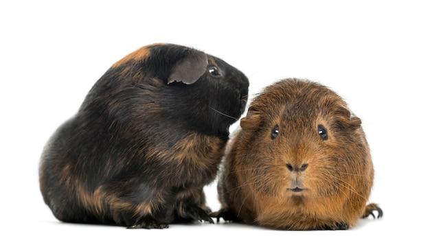 Zwei meerschweinchen, isoliert auf weiß