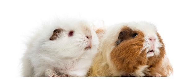 Zwei meerschweinchen stehen zusammen, 4 und 3 jahre alt, isoliert auf weiß