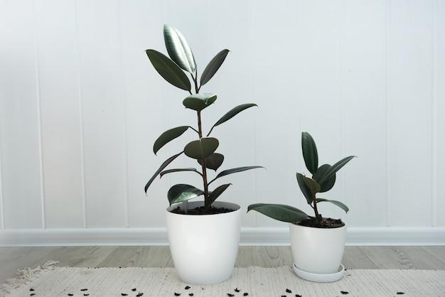 Zwei moderne ficus-zimmerpflanzen im weißen topf, ficus elastica burgundy oder rubber plant