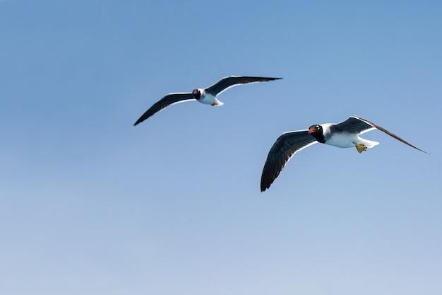 Zwei möwen mit dunklen und geraden flügeln im flug