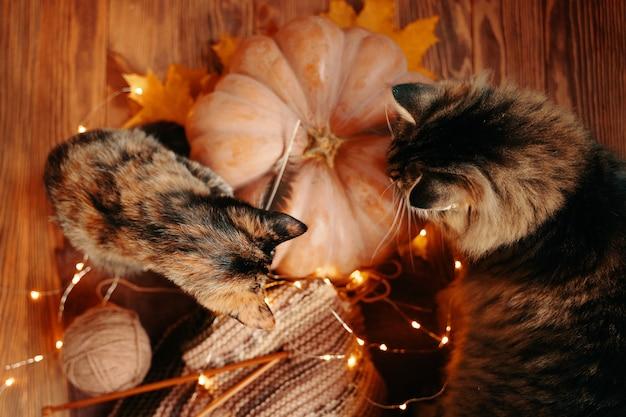 Zwei neugierige katzen betrachten einen gestrickten schal und einen reifen kürbis von oben auf die herbstkomposition mit ca.