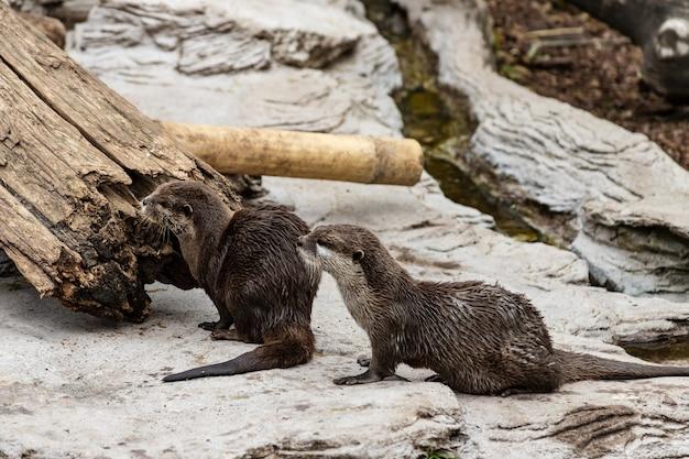 Zwei niedliche flussotter im zoo