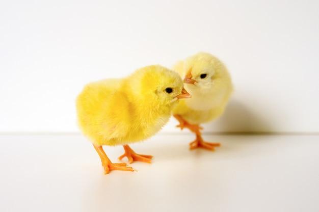 Zwei niedliche kleine winzige neugeborene gelbe babyküken auf weißer oberfläche