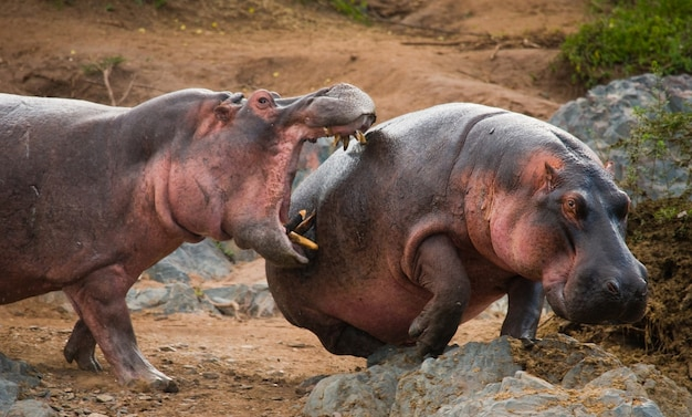 Zwei nilpferde kämpfen miteinander