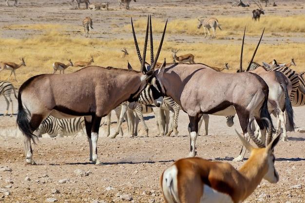 Zwei oryx-antilopen, die mit ihren hörnern kämpfen. afrikanisches natur- und wildreservat, etosha, namibia