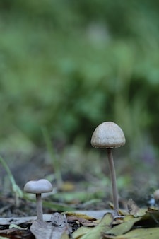 Zwei panaeolus papilionaceus, petticoat mottlegill pilze