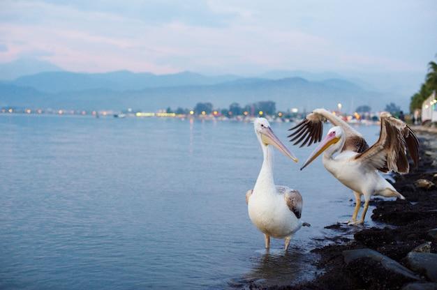 Zwei pelikane am ufer der stadt