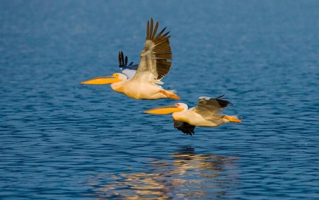 Zwei pelikane fliegen über das wasser.