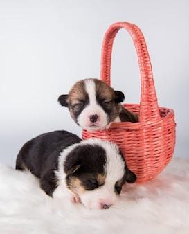 Zwei pembroke welsh corgi welpenhunde auf korb