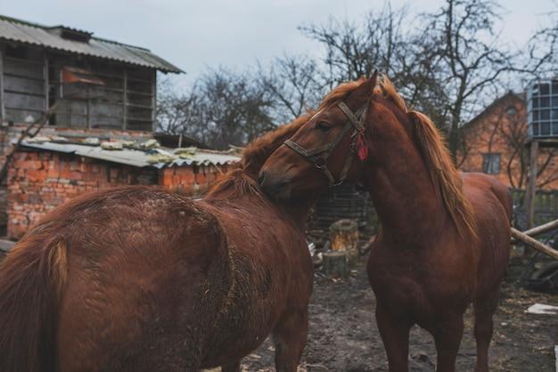 Zwei pferde, die auf yard streichen