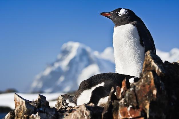 Zwei pinguine auf einem felsen