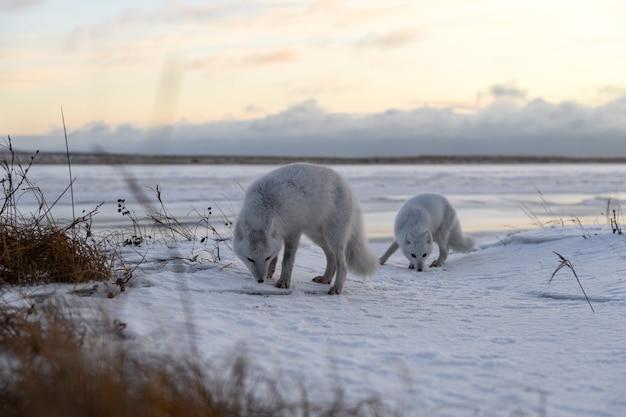 Zwei polarfüchse (vulpes lagopus) in der wilden tundra. polarfuchs am strand.