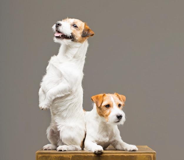 Zwei reinrassige jack russell posieren in einem studio
