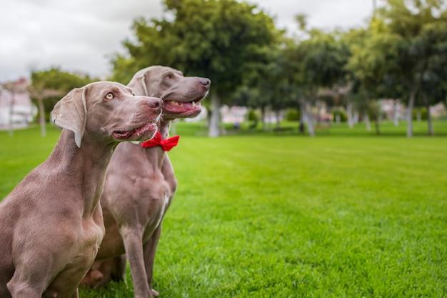 Zwei reinrassige weimaraner hunde, sehr elegant, sitzen auf dem rasen der natur.