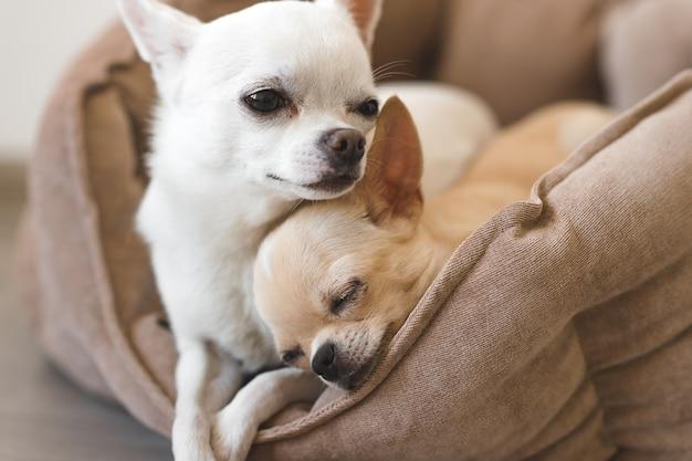 Zwei reizende, nette und schöne inländische chihuahuawelpenfreunde, die, entspannend im hundebett liegen