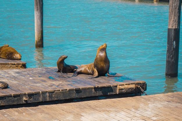 Zwei robben am pier von pier 39 in san francisco. vereinigte staaten