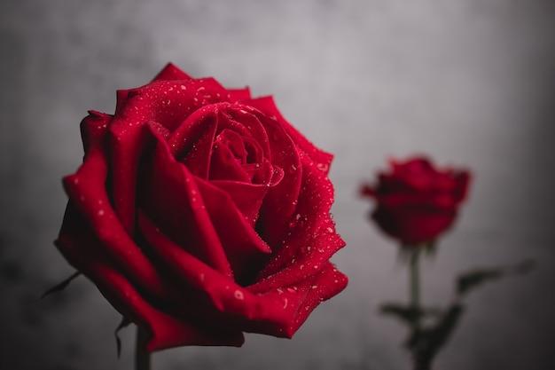 Zwei rote frische rosen mit tröpfchen auf blütenblättern