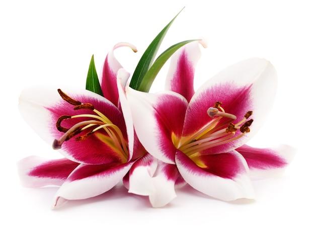 Zwei rote lilien isoliert
