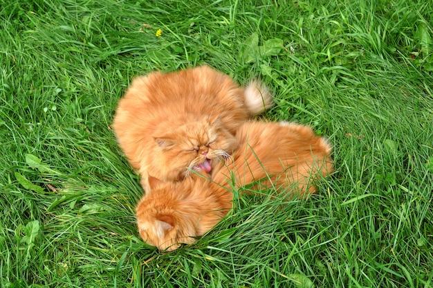 Zwei rote lustige perserkatzen liegen im grünen gras
