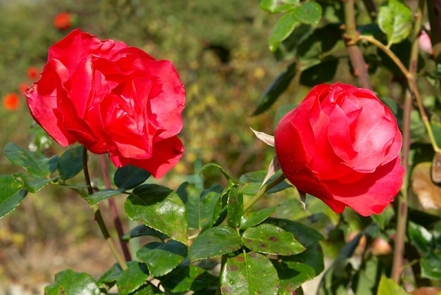 Zwei rote rose