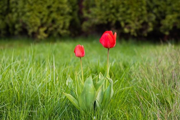 Zwei rote tulpen auf einem hintergrund des grases. hochwertiges foto