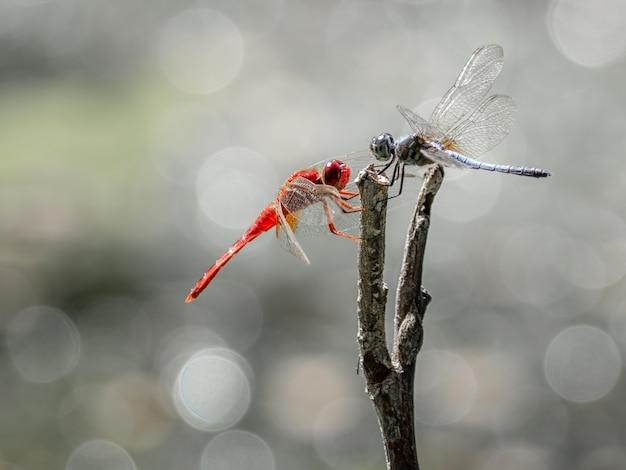 Zwei rote und blaue libellen