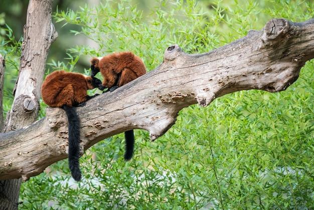 Zwei roter getrumpfter lemur