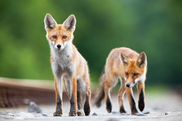Zwei rotfuchsjungen auf eisenbahnschienen sehen überrascht aus