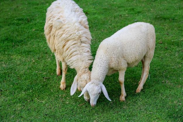 Zwei schafe, die gras im emptry garten essen Premium Fotos
