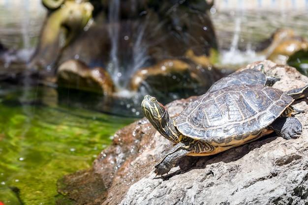 Zwei schildkröten auf den felsen, von der sonne beleuchtet