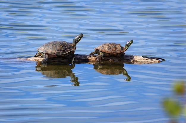 Zwei schildkröten, die auf einem klotz sich aalen