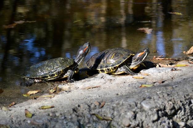 Zwei schildkröten, die in der sonne in der nähe eines teiches auftauchen