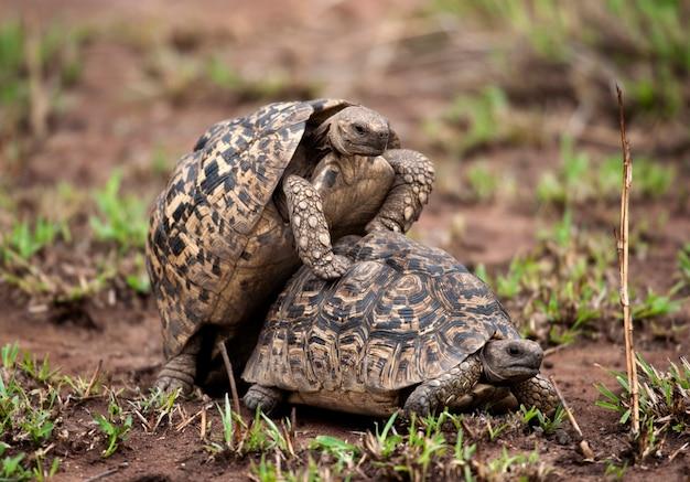 Zwei schildkröten paaren sich