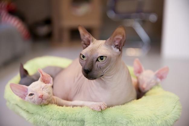 Zwei schlafende weiße zwei monate alte don sphinx-katzen mit ihrer mutter