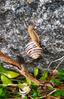 Zwei schnecken kriechen an einer steinmauer mit kletterpflanzen entlang. einer ist näher, der andere im hintergrund