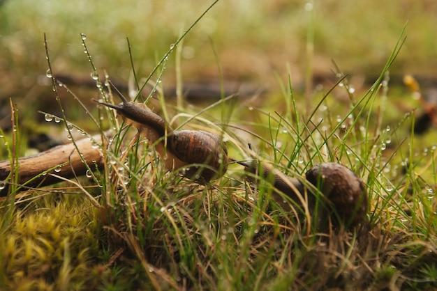 Zwei schnecken sitzen im nassen gras