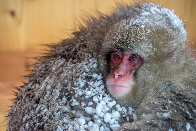 Zwei schneeaffen (japanische macaques) zittern und umarmen sich auf dem dach an der touristeninformation