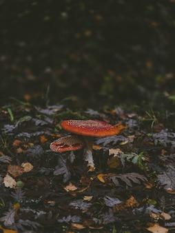 Zwei schöne essbare pilze, die zwischen abgefallenen blättern wachsen