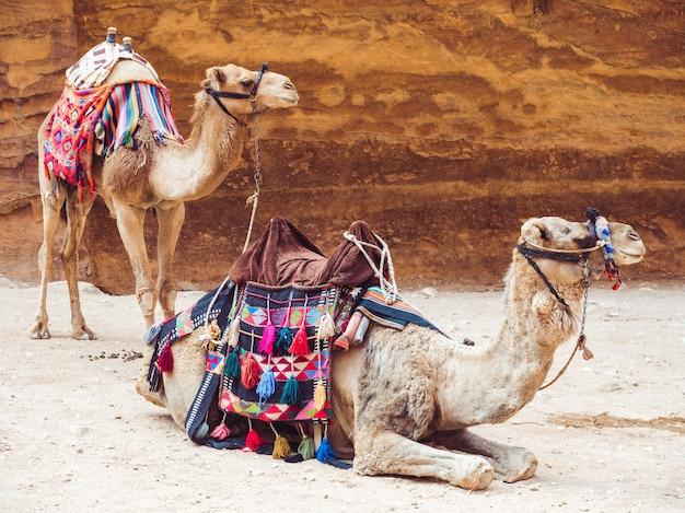 Zwei schöne kamele auf dem hintergrund des felsens