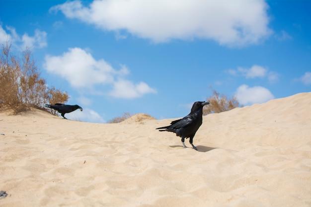 Zwei schöne krähen von leuchtend schwarzer farbe, auf den sanddünen, unter dem blauen himmel.