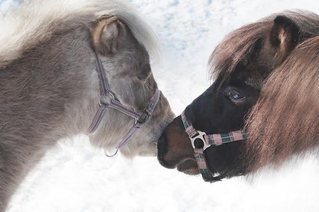 Zwei schöne ponys im zoo