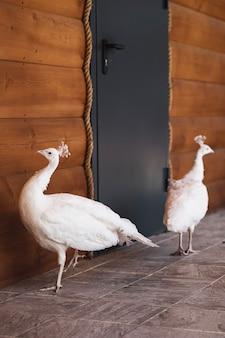 Zwei schöne weiße pfauen laufen auf dem boden