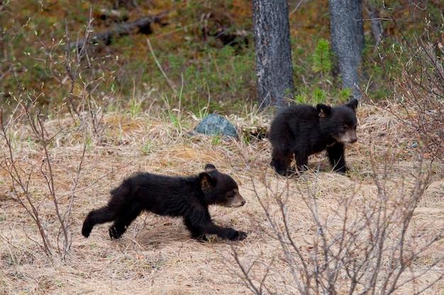 Zwei schwarze bärenjunge (ursus americanus) spielend in einem wald, jasper national park, alberta, kanada