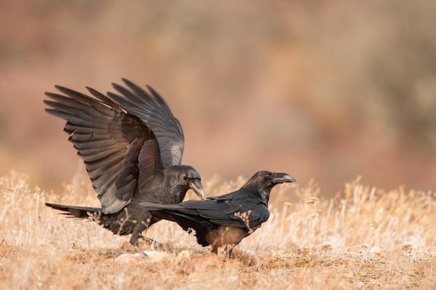 Zwei schwarze krähen im lebensraum. corvus corax.