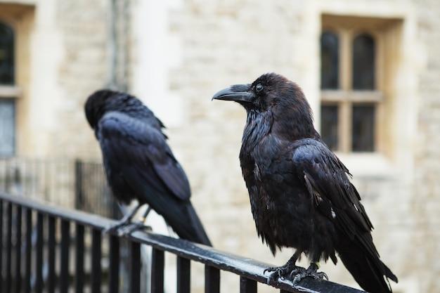 Zwei schwarze raben im turm von london, großbritannien. gemeiner rabe (corvus corax).