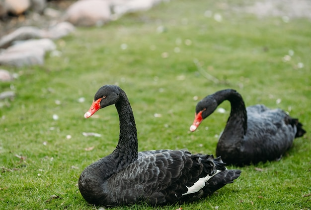 Zwei schwarze schwäne im gras