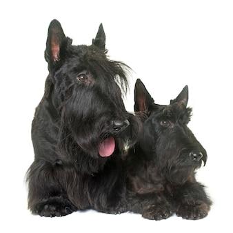 Zwei scottish terrier