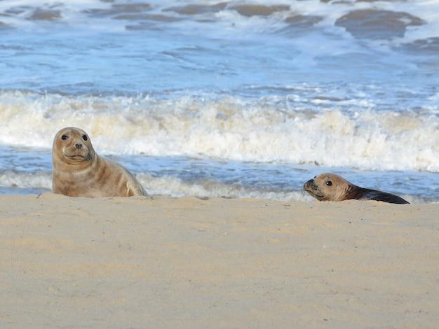 Zwei seelöwen am strand