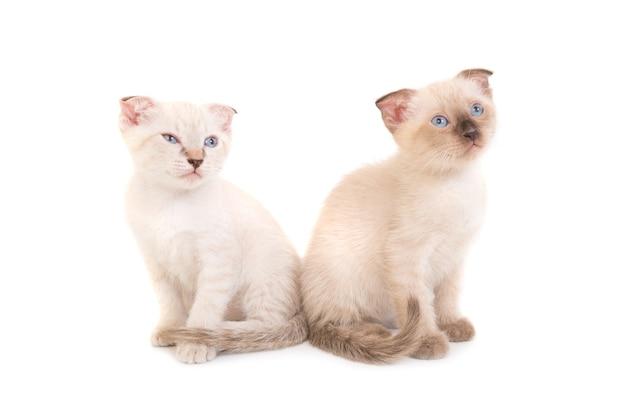 Zwei sitzende reinrassige kätzchen isoliert auf weißem hintergrund. studioaufnahme